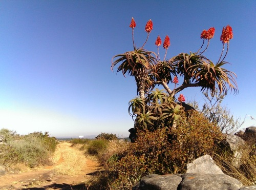 Aloe in bloom in the historic town of Kaapsehoop